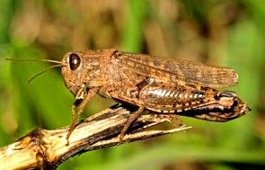 Lacusta Calliptamus italicus