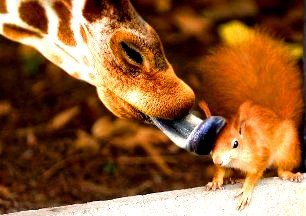 girafa-si-veverita