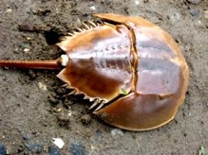Crabul-potcoavă, specia de sute de milioane de ani, ce a salvat cei mai mulţi oameni în întreaga istorie