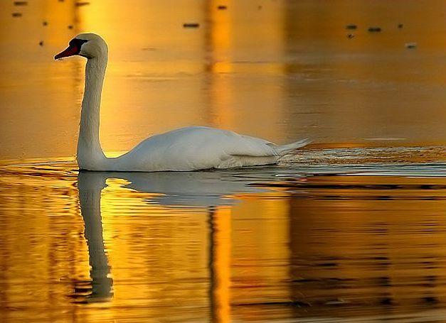 Lebăda pe lacul de aur! N-am văzut vreodată o poză mai frumoasă ca asta...