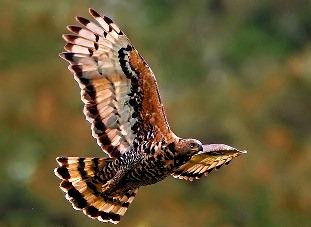 Iată-l! El este vulturul african încoronat, prădătorul care poate ataca şi mânca oameni!