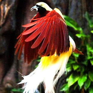 Păsările paradisului din Papua Noua Guinee: păsări din alte lumi sau miracole ale evoluţiei?
