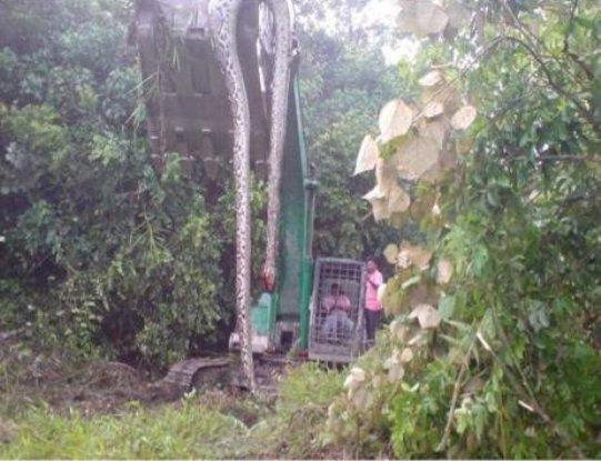 sarpe gigantic Indonezia 2
