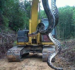 Un şarpe gigantic incredibil (ca din timpurile dinozaurilor), de 30 de metri lungime şi 300 de kilograme, a fost fotografiat în Indonezia, atârnând de un excavator