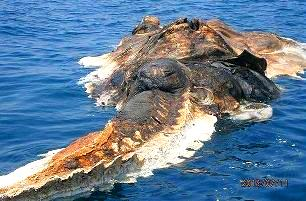 O creatură marină şi uriaşă a fost găsită în Golful Persic. Cei mai mulţi zic că e o balenă... alţii că e un dinozaur mort!