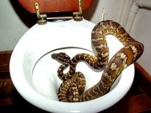 Legenda urbană privind şarpele uriaş care pătrunde prin sistemul de canalizare şi iese prin WC... Aveţi grijă!