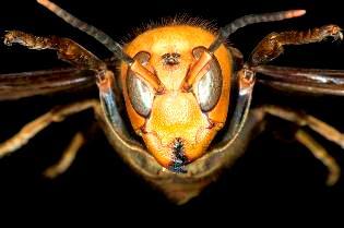 viespe gigant