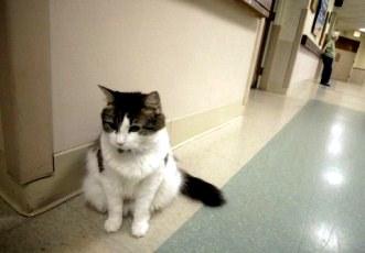 Incredibila poveste a lui Oscar, pisica care vesteşte moartea! Până şi pisicile ştiu mai mult despre moarte decât noi, oamenii!