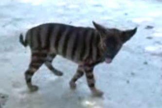 Ce creatură bizară mai e şi asta? Arată ca o pisică, are dungi ca un tigru şi latră ca un câine! Ar putea fi chiar celebrul tigru tasmanian, care se crede că a dispărut acum 80 de ani...
