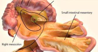 Oamenii de ştiinţă au descoperit un nou organ în trupul uman