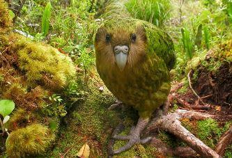 Kakapo, papagalul-bufniţă din Noua Zeelandă care nu poate zbura