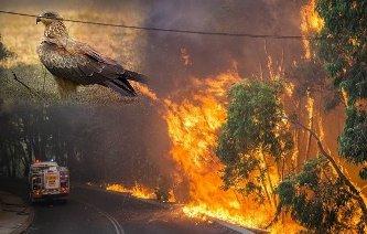 """Un studiu şocant arată că există păsări care incendiază intenţionat pădurile şi vegetaţia! Avem de-a face aici cu o """"inteligenţă malefică""""..."""