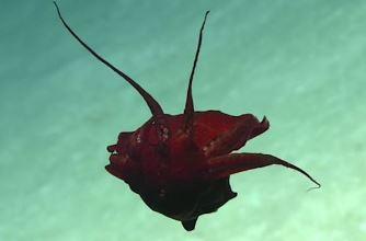 O creatură misterioasă, de culoare roşu sângeriu, a fost observată pe fundul oceanului, în Golful Mexic