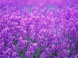 Incredibilele proprietăţi spirituale şi lăuntrice ale lavandei, planta miraculoasă