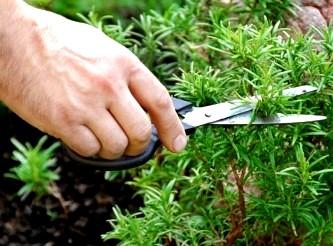 Vă puteţi aminti totul cu mai multă uşurinţă cu ajutorul rozmarinului! Nu există plantă mai bună ca ea!