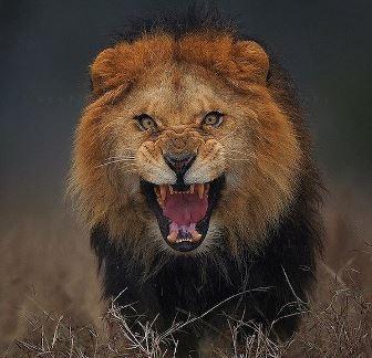 Un fotograf s-a apropiat la câţiva metri de acest leu furios pentru a face o poză incredibilă, dar era să fie ucis...