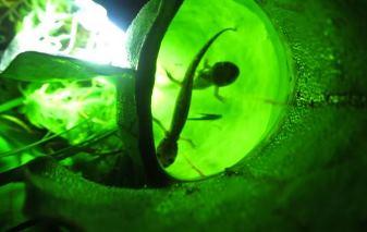 În Canada a fost descoperită o fascinantă plantă carnivoră care se hrăneşte cu pui de salamandre