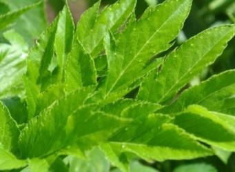 """""""Planta nemuririi"""" regenerează sănătatea celulară! Se numeşte """"ashitaba"""", iar proprietăţile sale miraculoase au fost verificate de diferite studii ştiinţifice"""