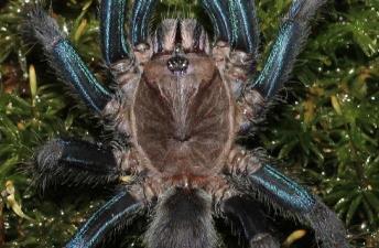 Ce credeţi că s-a descoperit în pădurile tropicale din Sri Lanka? O tarantulă incredibilă, cu picioare albastre...