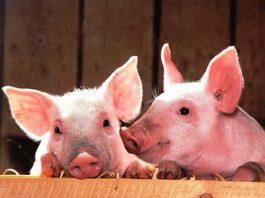 Mai inteligenţi decât credeam: pentru prima dată, au fost observaţi porci care se folosesc de instrumente, cum o făceau oamenii în epoca de piatră!