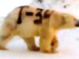 """Misterul ursului polar pictat cu textul """"T-34"""". Face el referire la tancul sovietic din cel de-al doilea război mondial?"""