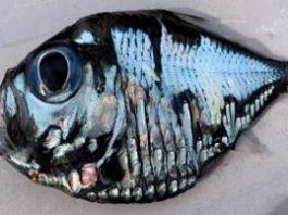 O, Dumnezeule... ce peşte e acesta!? A fost capturat în Japonia şi pare că ar fi fost pictat de Picasso...