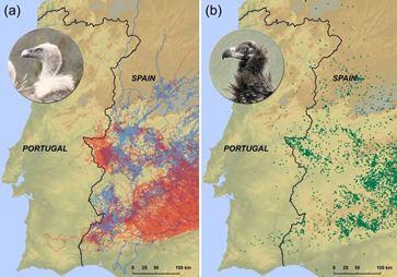 Vulturii nu depăşesc decât foarte rar graniţa dintre Spania şi Portugalia. De ce!?