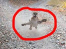Întâmplare terifiantă trăită de un bărbat american: el a fost urmărit timp de 6 minute de o pumă furioasă, gata să-l sfâşâie! Urmăriţi videoclipul incredibil...