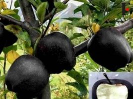 """""""Merele negre"""" chiar există! Ele cresc doar în Tibet, şi sunt atât de rare încât un măr costă """"doar"""" 7 dolari pe bucată..."""