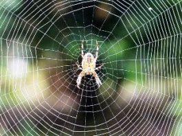 Cercetătorii învaţă să comunice cu păianjenii! Iar muzica pânzei de păianjen este uluitoare!