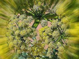 Acum 2 milenii, exista o plantă antică remarcabilă, care a dispărut în mod misterios de pe planeta noastră. De ce?
