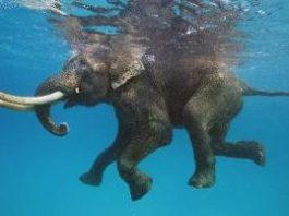 Elefanţii pot înota, fără nicio problemă, zeci de kilometri prin mări şi oceane!